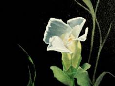 Flower-of-Sharon